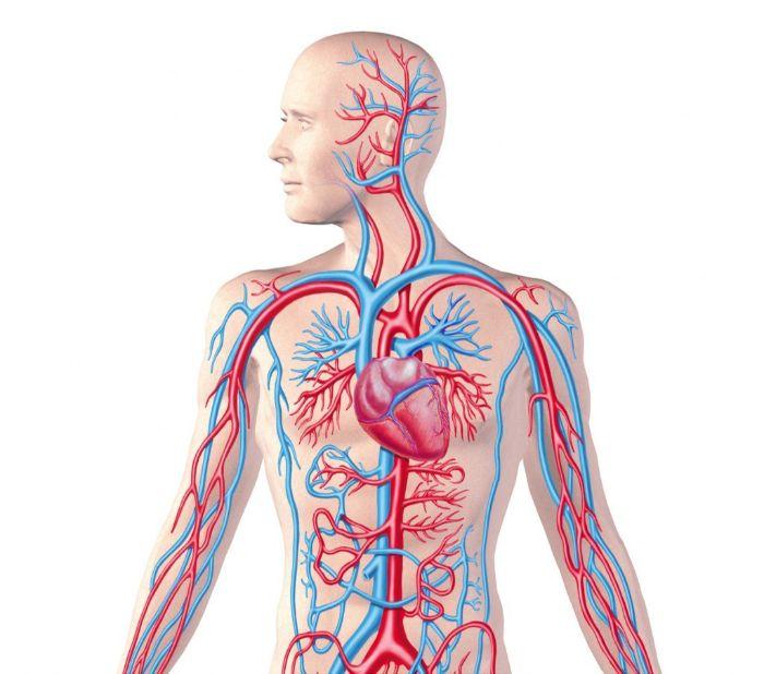 Hệ tuần hoàn máu trong cơ thể người