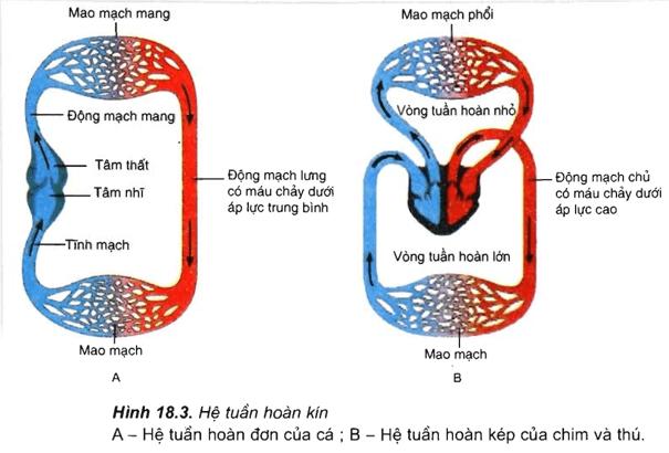 Vòng tuần hoàn máu và bạch huyết ở người