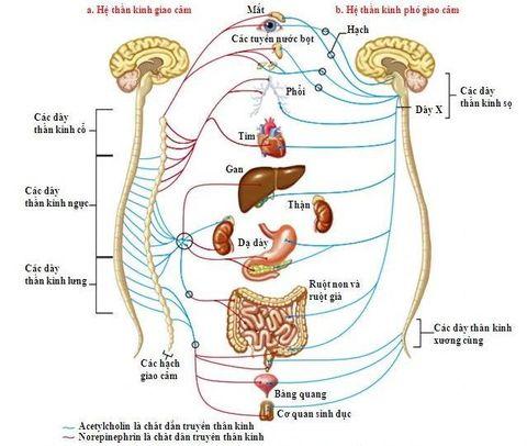 Điều  trị rối loạn thần kinh thực vật như thế nào hiệu quả?